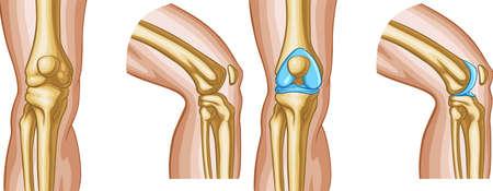 Vector medical illustration of Human knee bones.