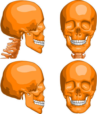 Vector medical illustration of Human Skull, front and profile views. Ilustração