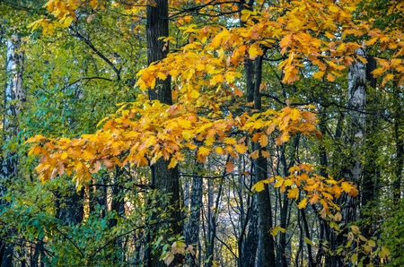 Autumn forest landscape. Colorful leaves on a tree. Stock Photo