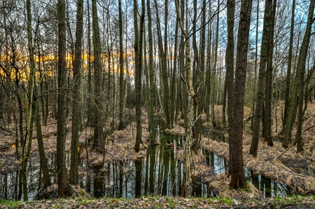 Forest morning landscape. Trees and swamps in the morning scenery.