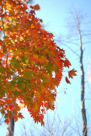 autumn foliage, autumn color, maple tree Stock Photo