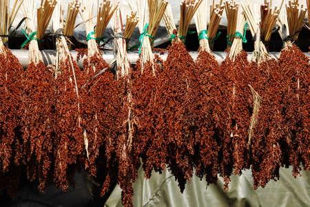 sorgo: la cosecha de sorgo maduro Foto de archivo