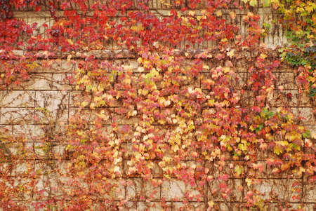 weed block: a colorful  ivy-covered wall in autumn