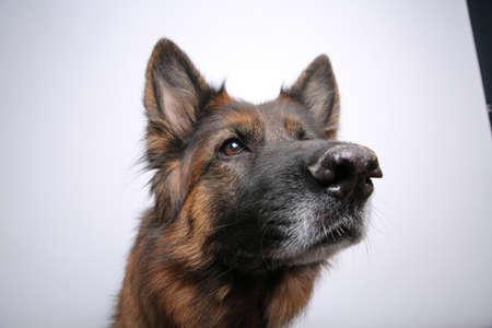 pete: German Shepherd Dog Alfies Portrait Photos on black & white backround