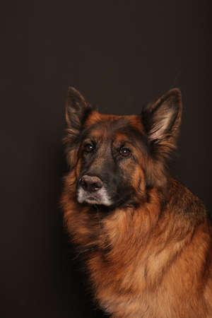 German Shepherd Dog Alfies Portrait Photos on black & white backround