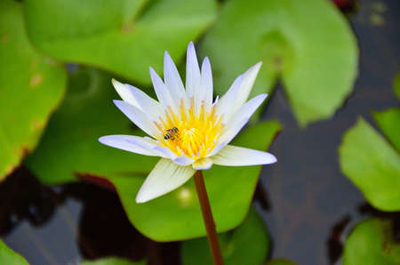 symbiosis: Water lily Stock Photo