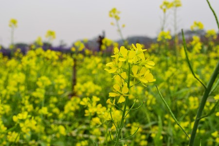 oilseed: Oilseed rape field in Moc Chau County