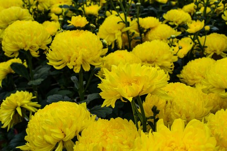 yellow blossom: Yellow blossom Chrysanthemum farm inside greenhouse