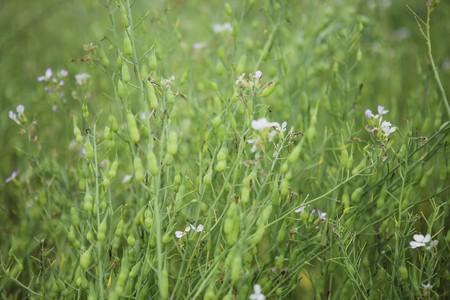 White rapeseed flower field in Moc Chau, Son La province, Vietnam Stock Photo
