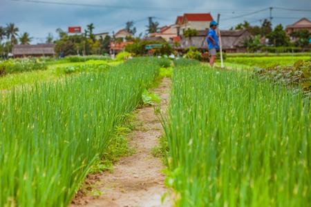 HOI AN, VIETNAM - MARCH 17, 2017: Tra Que village, organic vegetable field, near Hoi An old town, Vietnam