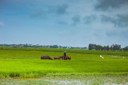 vietnamese ethnicity: HOI AN, VIETNAM - MARCH 17, 2017: Man in Vietnam often ride the water buffalo while herding them.