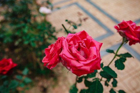 DALAT, VIETNAM - February 17, 2017: Color roses in flower Da Lat city in Vietnam Editorial