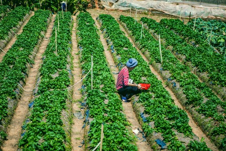 DALAT, VIETNAM - February 17, 2017. Vietnamese farmer picking strawberries in Da Lat, Vietnam Editorial