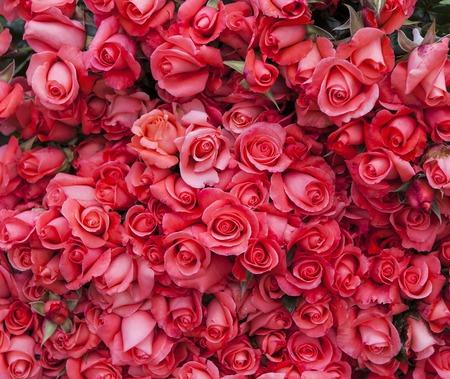 dalat: Color roses in flower factory in Da Lat city in Vietnam Editorial