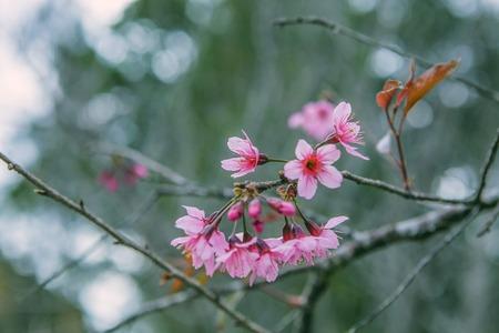 DALAT, VIETNAM - February 17, 2017: Spring flower, beautiful nature with sakura bloom in vibrant pink, cherry blossom is special of Dalat, Vietnam Editorial