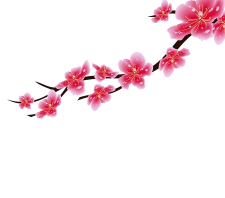 Sakura flowers background. Cherry blossom isolated white background. Chinese new year