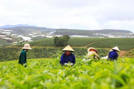 DALAT, 26 October 2017: Farmers colectting tea leaves in a field of green tea hill. Tea is a traditional drink in Asia Editorial