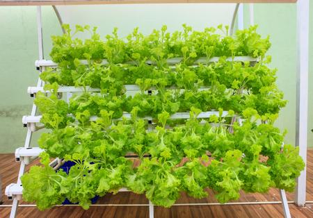 ダラット、2017 年 10 月 26 日: 成長なしで水、土のミネラル栄養解決を使用して植物の成長の野菜の水耕栽培法。 報道画像