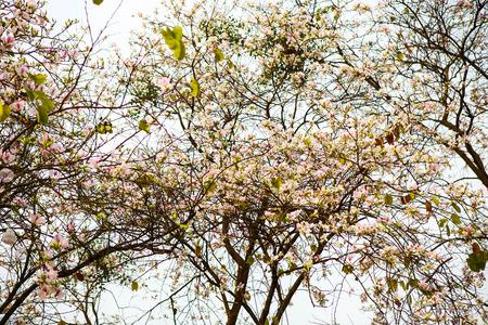 Beautiful Bauhinia variegata flowers in blooming season at Dien Bien, Vietnam