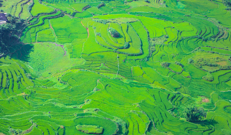Terraced rice fields in harvest season, Muong Hoa Valley, Sappa, Northern Vietnam