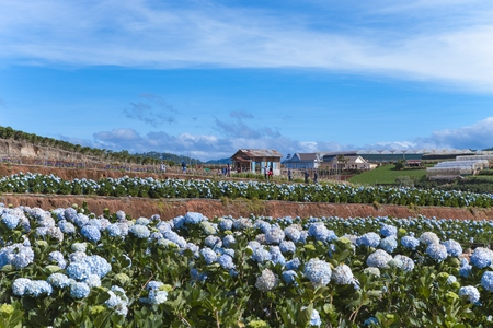 Field of hydrangeas flowers, these beautiful flowers are grown at land Da Lat, Vietnam Banco de Imagens