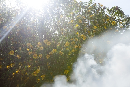 Bush of wild sunflower bloom in yellow, colorful scene in smoke at Da Lat, Vietnam