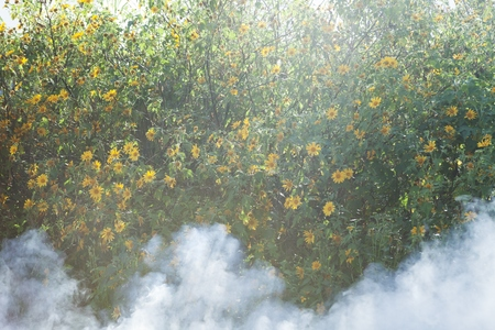 Bush of wild sunflower bloom in yellow, colorful scene in smoke at Da Lat, Vietnam