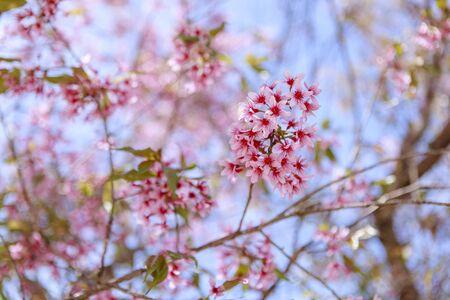 Frühlingsblume, schöne Natur mit Sakura-Blüte in leuchtendem Rosa, Kirschblüte ist etwas Besonderes von Dalat, Vietnam, Blüte im Frühling, erstaunlicher alter Baum, schöne Aussicht, bis zum Himmel machen abstrakten Hintergrund
