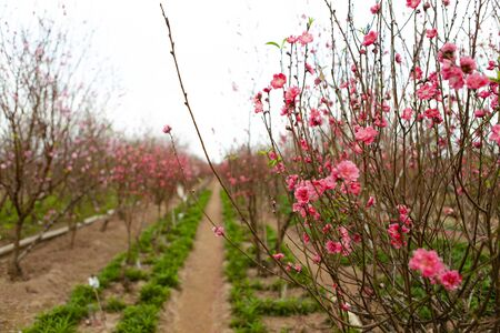 Peach flowers blossom in Nhat Tan garden - is one of the most favorite flower at Tet festival in Vietnam.