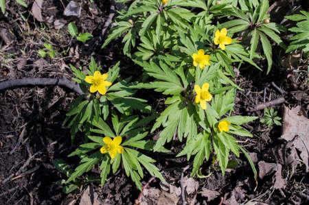primroses: Early primroses in the spring wood: eranthis (Eranthis hyemalis)