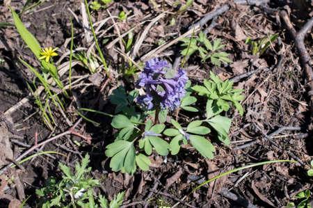 corydalis: Early primroses in the spring wood: corydalis (Corydalis) Stock Photo