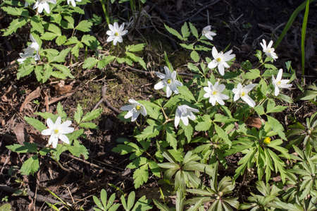windfall: Early primroses in the spring wood: anemone, windfall (Anemone sylvestris)  Stock Photo