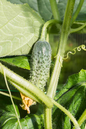 cuke: Middle of summer: cucumbers in the greenhouse