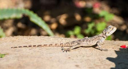 brisk: Small brisk lizard on a hot brown stone