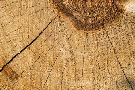 celulosa: El viejo árbol natural, con un corte transversal
