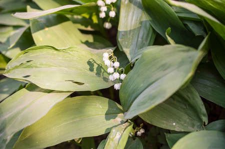 majalis: The blossoming spring lily of the valley (Convallaria Majalis)