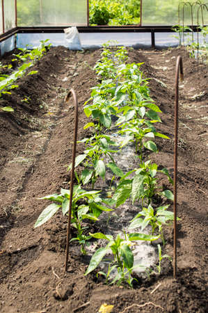 hotbed: Seedling of vegetables in the protected soil