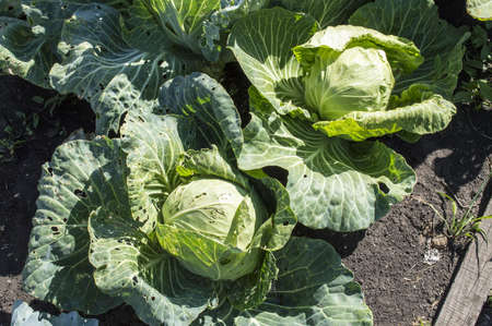Cabbage on a garden bed in the summer Stock Photo