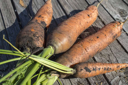 carrot tree: Collected carrots with a green tops of vegetable