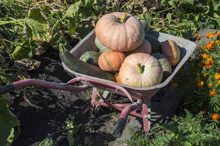 Zucchini and pumpkins in a wheelbarrow for harvesting