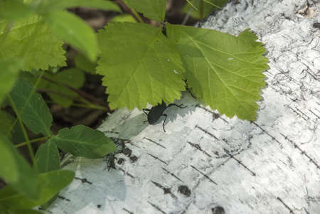 The wood borer on a birch trunk Stock Photo