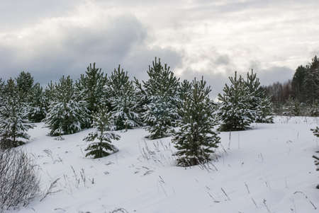 Small fir-trees on fresh snow in the winter  Stock Photo