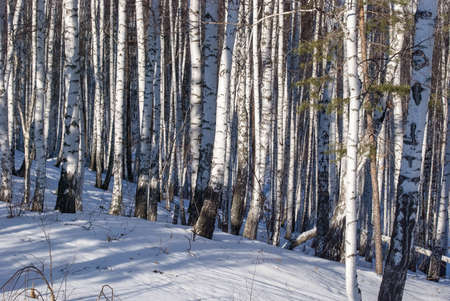 Birch wood in the sunny winter afternoon