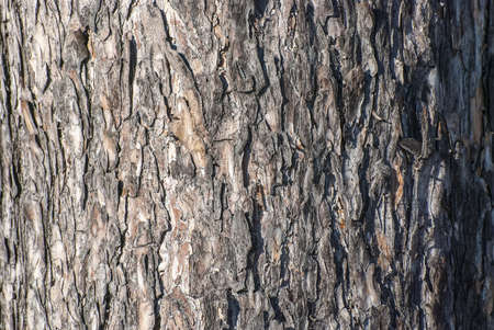 Bark on a trunk of a big tree of a pine