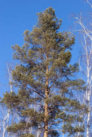 The pine against the background of the sky in the winter Stock Photo
