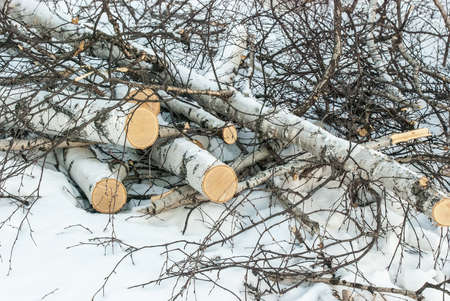 The sawn trunks of trees on snow