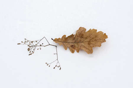 esthetics: The fallen-down leaf of an oak on new-fallen snow in the winter
