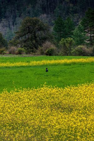 the beautiful scenery of the Linzhi region of Tibet in the spring season. Green barley and yellow rape flowers set off against each other.