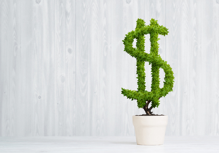 Green dollar tree growing in white pot Stock Photo - 87207594