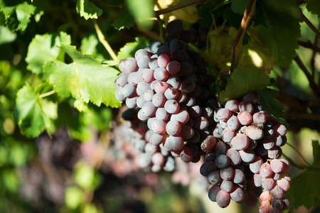 Ripe grapes and green leaves at sunlight. Close-up bunch of red grapes on grapevine. Harvest time in winery industry. Seasonal fruits harvesting in countryside garden. Healthy and natural food